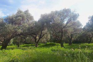 Buljarica Maslinjak olive grove
